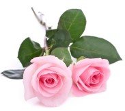 pink_rose_small